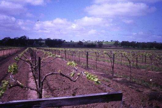 T-Trellising in a Padthaway vineyard. Photo: Padthaway Grape Growers Association.