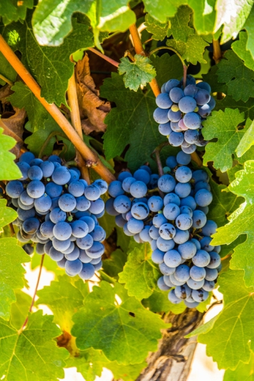 Lori-Ann Shibish — Entopia Wines, Swan District, Western Australia.