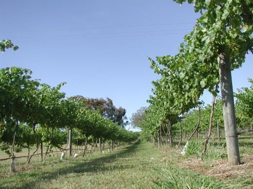 Murray Valley vineyard 25-01-18.jpg