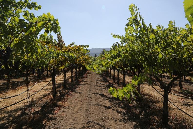 vineyard DWN.jpg