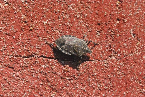 stink-bug australia dept agriculture.jpg
